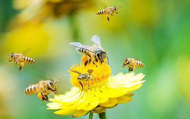 Včely oslabené pesticidy jsou náchylnější k nemocem