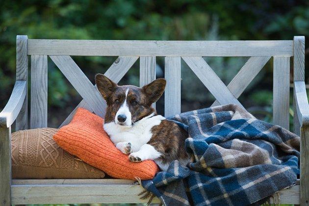Welsh Corgi Cardigan patří ke klidným plemenům psů.