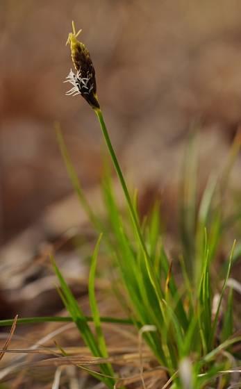 Carex - ostřice - nízká forma.