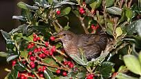 plody cesmíny chutnají ptákům