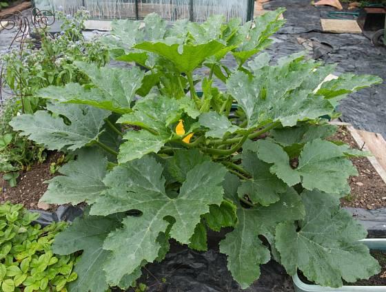 Cuketa je pohledná rostlina, která zkrášlí i zahradu v rekonstrukci a ještě přinese užitek