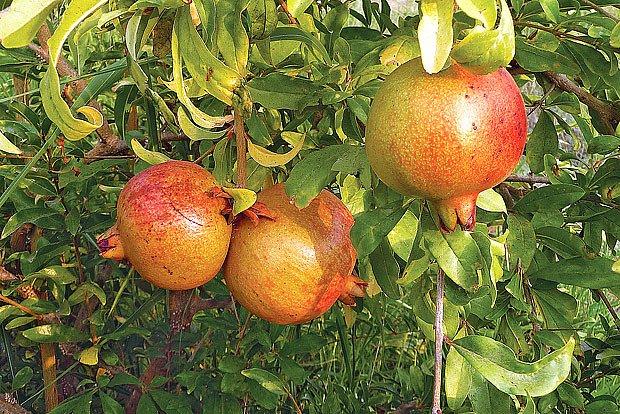 Granátová jablíčka na naší zahradě?