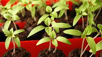 Semenáčky rajčat v jiffech