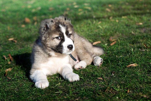 Štěňata kavkazského pasteveckého psa jsou okouzlující.