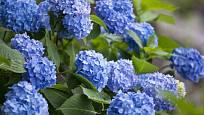 V kyselé půdě je květenství hortenzií nebesky modré