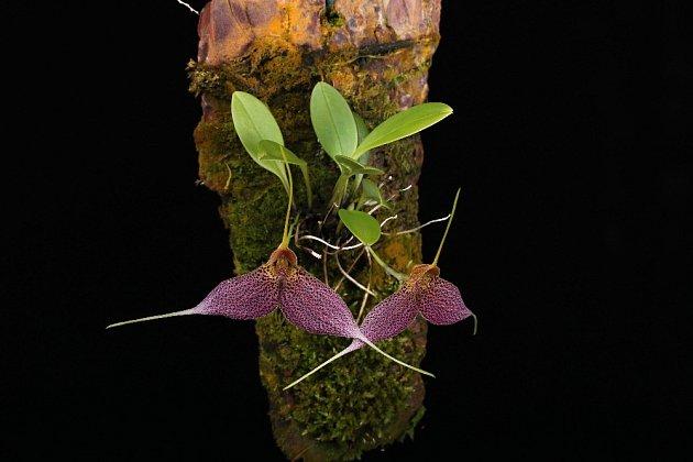 Miniaturní orchidej Masdevallia decumana