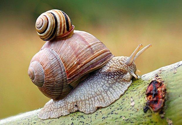 Páskovka žíhaná použila hlemýždě zahradního jako taxík