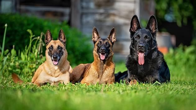 Mezi nejzdravější plemena psů patří i belgický ovčák malinois.