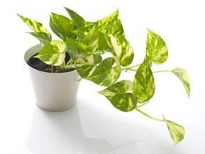 Potosovec patří k velmi nenáročným pokojovým rostlinám.
