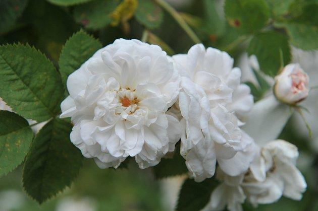Blanche de Belgique. Volně plný, čistě bílý květ se středovým očkem