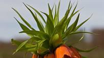 Řebčík královský (Fritillaria imperialis), kultivar Rubra.