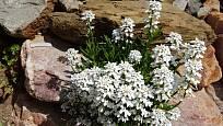 Štěničník (Iberis) patří mezi nenáročné skalničky.