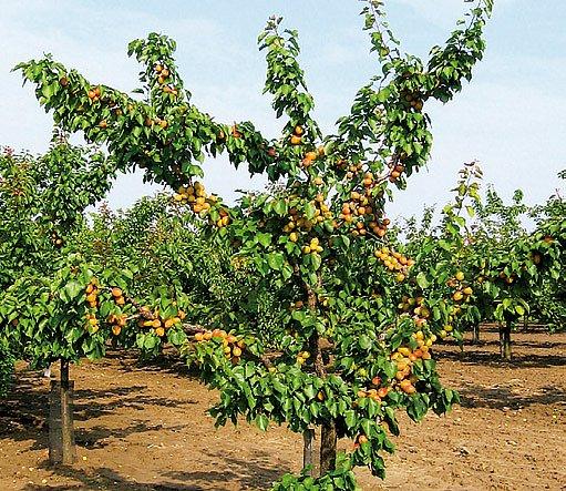 strom meruňka