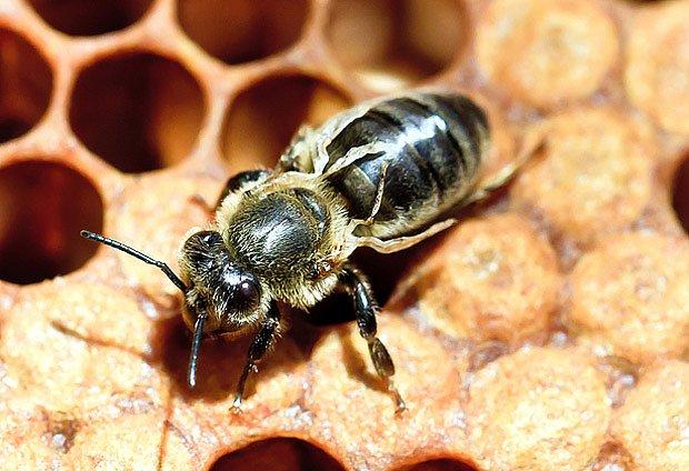 Včela se vylíhla bez křídel kvůli napadení plodu kleštíkem