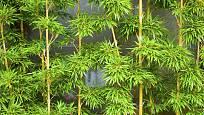 Bambusy jsou stálezelné rostliny