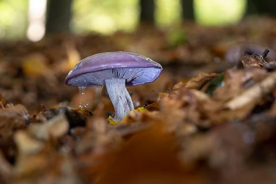 Čirůvka fialová se objevuje v lesích až na podzim.