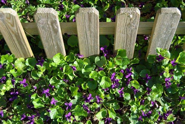 Violka vonná (Viola odorata) je nenáročná.