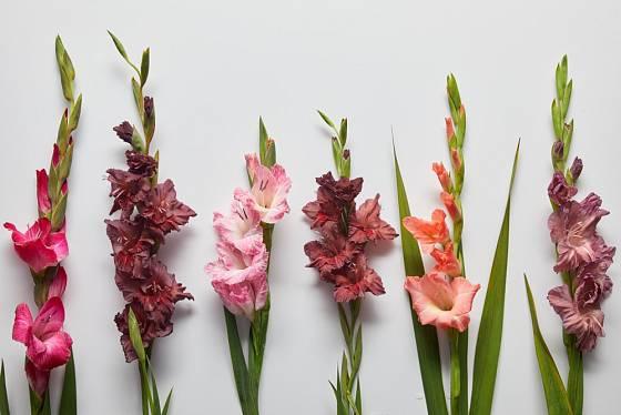 Šlechtitelé nabízejí stále další kultivary gladiol.