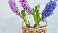 Rychlené hyacinty je po odkvětu škoda vyhodit