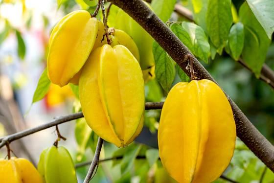 Dozrávající plody karamboly.