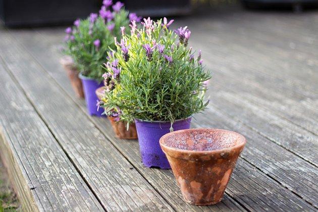 Můžete vybírat z vícero druhů a kultivarů levandule