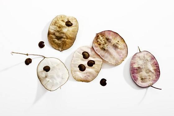 Každá šešulka měsíčnice roční v sobě ukrývá několik semen.