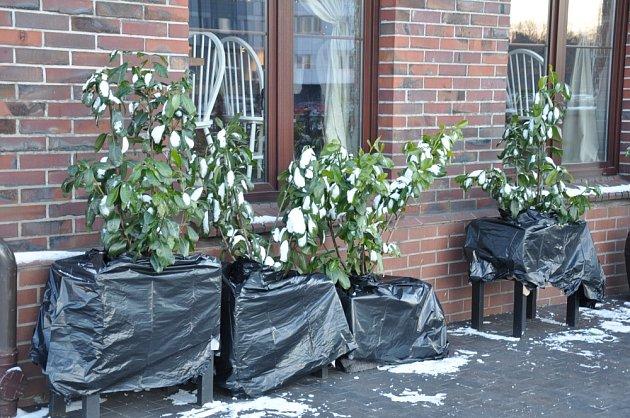 Rostliny v nádobách pomůže před mrazy ochránit umístění u zdi.
