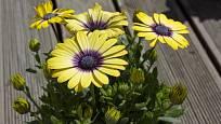 Rostlina tvoří pravidelné keříky.
