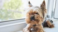 Jorkšírský teriér - společenský pes malého vzrůstu