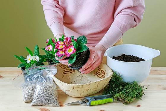 Primulky nejprve opatrně vyjmeme z původních květináčů.