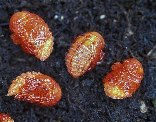 Z vajíček se se vylíhnou cihlově zbarvené larvy.