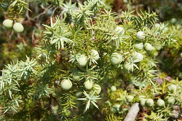 Drobné zelené plody na větvích jalovce.