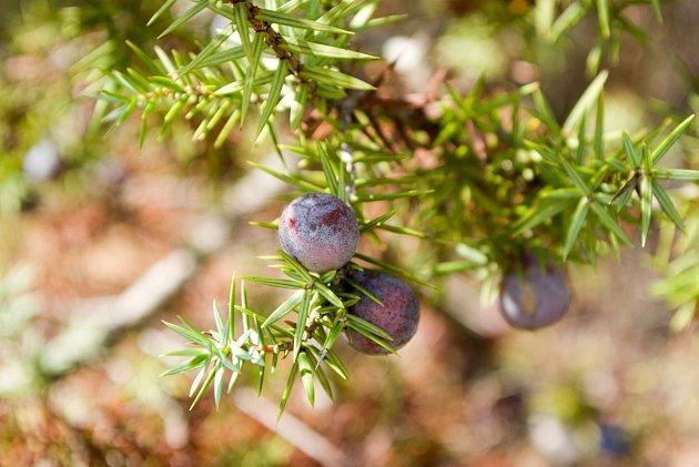 Zralé temně fialové plody jalovce zvané jalovčinky.