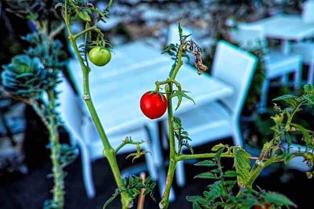 Keříčková rajčata je potřeba vyštipovat, abychom měli lepší úrodu