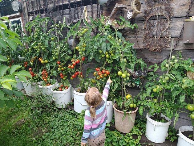 Bohatá úroda rajčat potěší