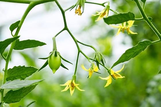 Plody rajčat se postupně zvětšují a vybarvují.