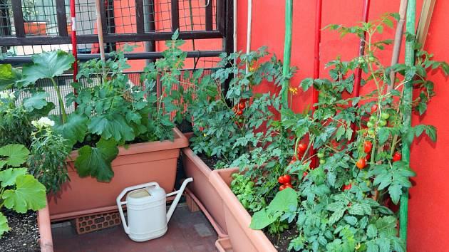 Rajčata jsou balkonovou klasikou.