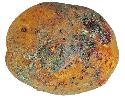 bakteriální hniloba brambor