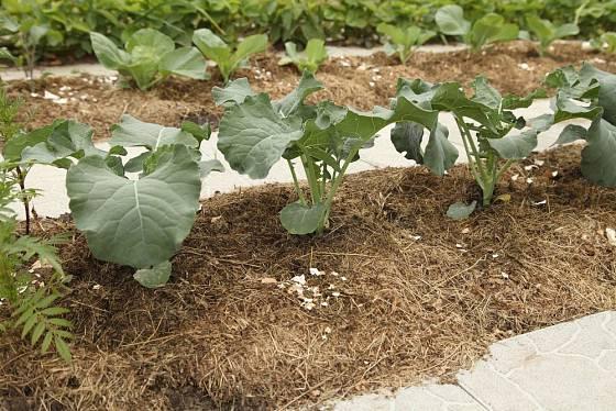 Brokolici svědčí mulčování. Vaječné skořápky odrazují běláska zelného od kladení vajíček.