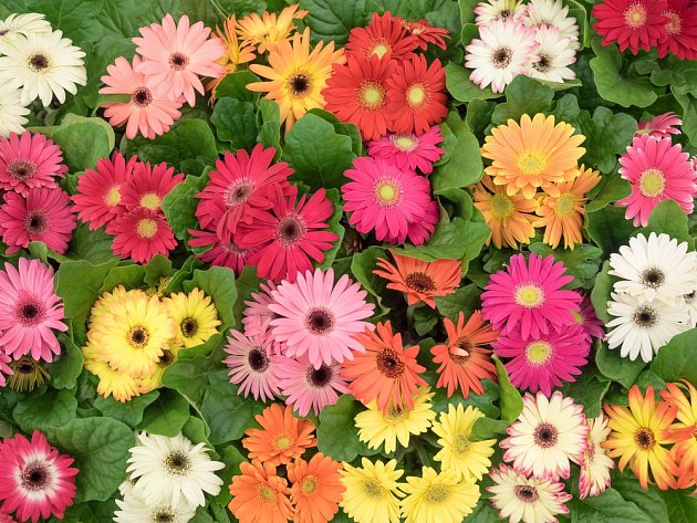 Gerbery se nabízejí v mnoha barevných variantách.