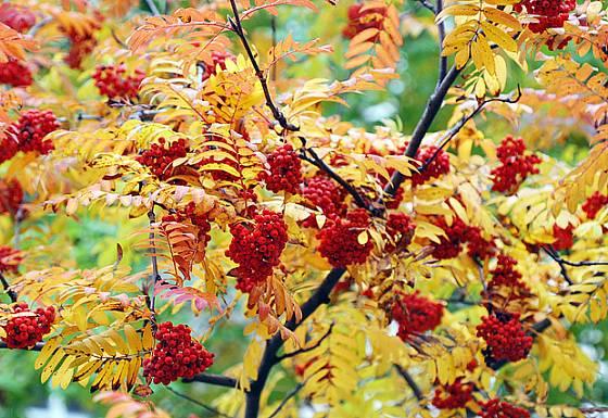 Jeřabiny, barevné radosti podzimu