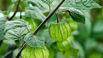 zrající plody mochyně peruánské