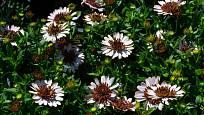 Některé variety paprskovek mají i poloplné nebo plné květy.