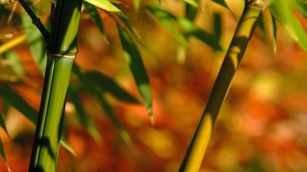 Bambusy patří do čeledi lipnicovitých trav a jsou jediné, které se řadí zároveň mezi dřeviny.