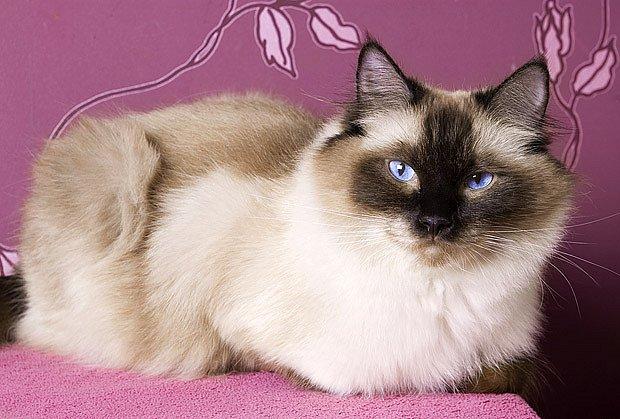 kočka plemene Ragdoll