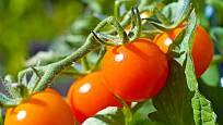 cherry rajčata