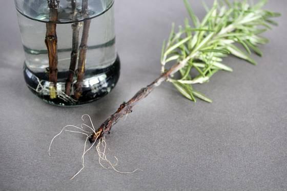 Řízky bylinek mohou zakořenit i ve vodě