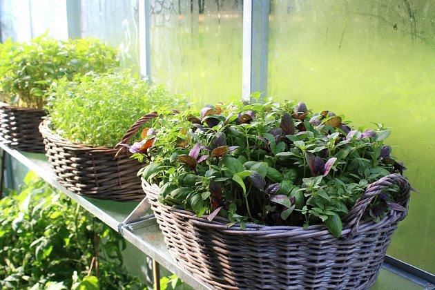 bazalka a koriandr, oblíbené jednoleté bylinky