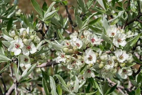 hrušeň vrbolistá, Pyrus salicifolia