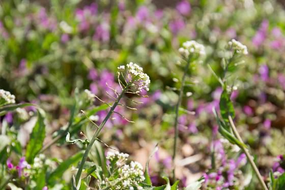 Kokoška pastuší tobolka se často vyskytuje ve společnosti dalších plevelných rostlin.